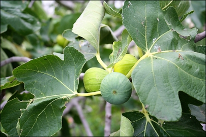 fig_tree_closeup